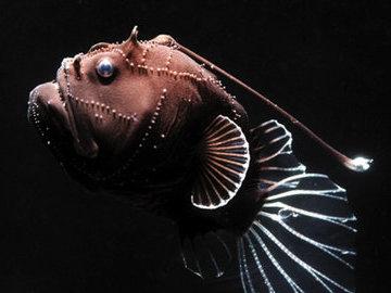 Рыбы-удильщики не вырабатывают T-клетки для спаривания