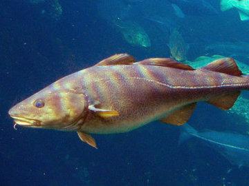 На Камчатке рыбную компанию оштрафовали за мышьяк в треске