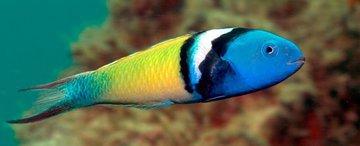 Существуют рыбы, меняющие свой пол