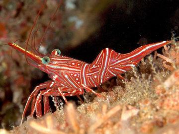 В Тихом океане обнаружили паразита, пожирающего креветок