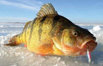 Рыбалка на окуня зимой