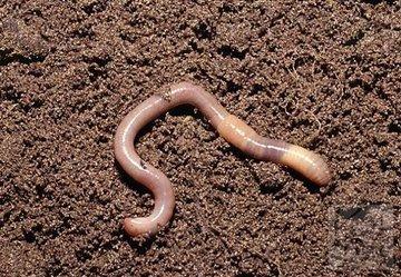 Самостоятельное выращивание червей для рыбалки. (Часть 3)