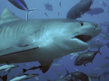60-летний австралиец стал жертвой нападения акулы