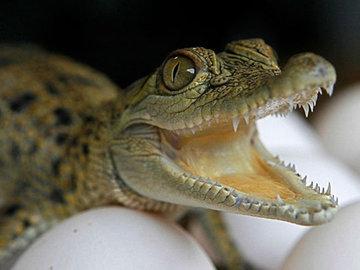 В море возле Анапы выловили крокодила
