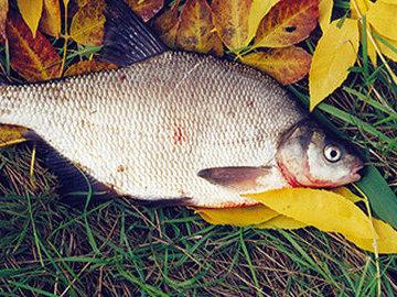 Лещ. Осенняя рыбалка