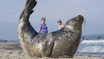 Роддиктон-Биде Арм оккупировали тюлени