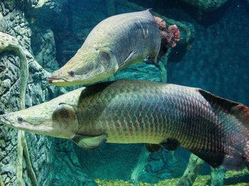 В Дарвиновском музее появилось чучело рыбы-гиганта