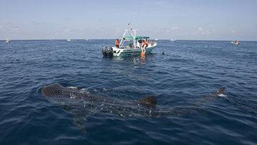 Американские рыбаки столкнулись с китовой акулой