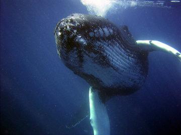 Морские биологи записали шепот южных гладких китов