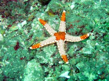 """""""Гормон любви"""" вызывает у морских звезд чувство голода"""