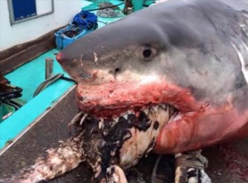 В Японии рыбак поймал несчастное чудовище