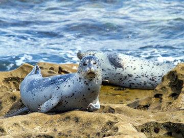 Биологи выяснили, что морские леопарды делятся друг с другом пищей