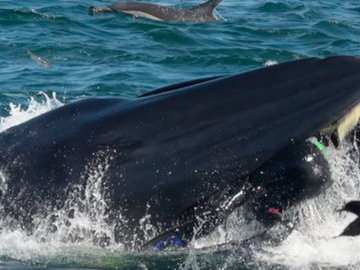 Дайвер остался жив после того как побывал в пасти кита