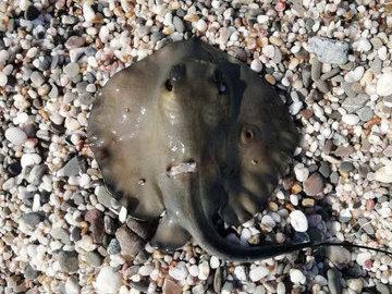 В Евпатории на туриста напал морской скат