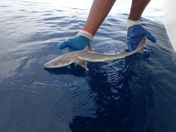 Биологи из США обнаружили самую маленькую акулу в мире