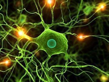 Продолжительность жизни связана с количеством нейронов