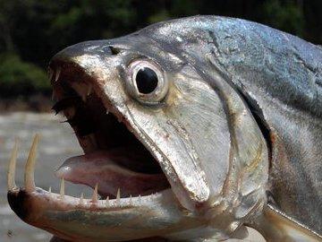 Рыбы со странными и пугающими зубами