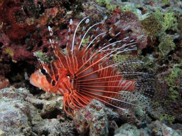 Крылатка: красивая и самая опасная рыбка