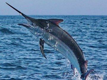 Самые быстрые рыбы в мире