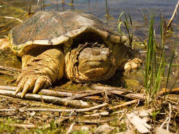 Открытие: сердца черепах могут выжить без кислорода