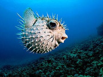Что мы знаем о рыбе фугу