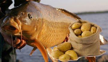 Картофель в качестве рыболовной насадки
