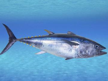 В Японии резко упал спрос на голубого тунца