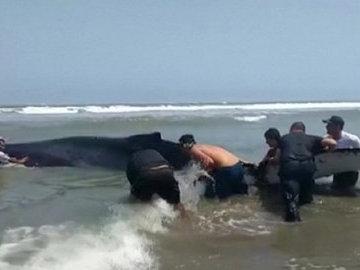 В Перу спасли выброшенного наберег кита