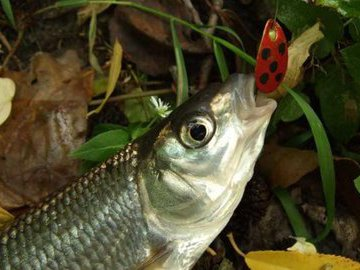 Елец-молодец: рыбалка с азартом