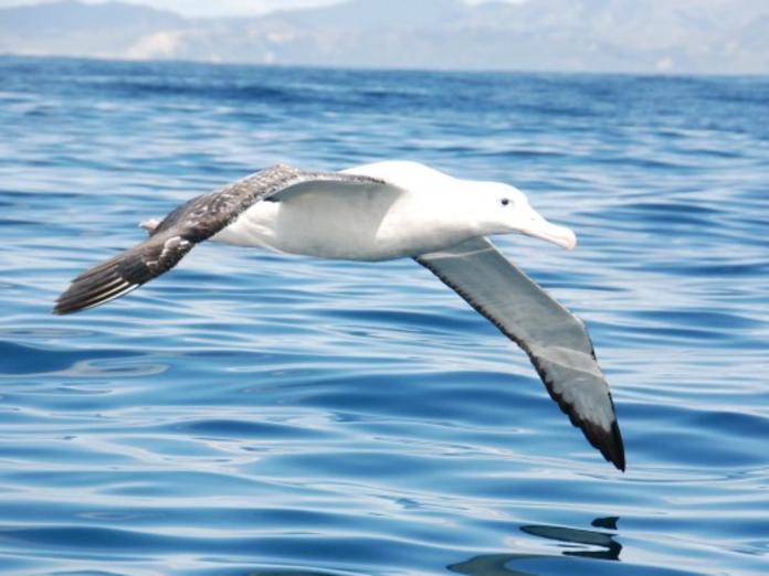 красивые фото альбатрос такие черно-белые
