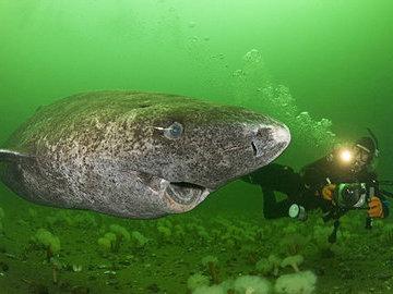 Ученые выяснили возраст Гренландских акул - им 400 лет!