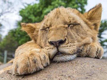 На Елисейских полях спасли львенка