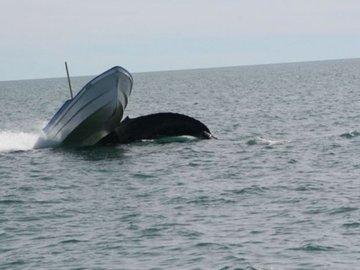 На туристов-рыбаков напал горбатый кит