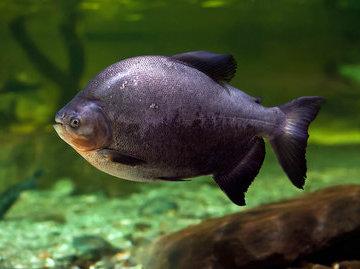 Пираньи-вегетарианцы - удивительные рыбы из Амазонии