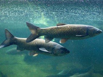 Ядовитые рыбы России