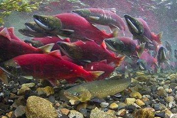 Почему резко сократилась численность дикого розового лосося?