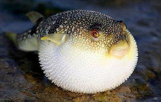 Традиционные японские деликатесы. Рыба фугу