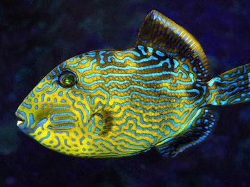Многоликая рыба: мимикрия в морских водах