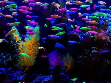 Флуоресцентные рыбы - адаптация для конкуренции за самок