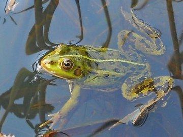 Удивительная лягушка озера Титикака
