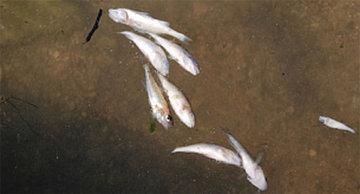Мор рыбы в Челябинске мог быть из-за дыры в коллекторе