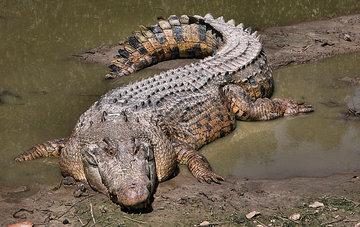 Крокодилы спасут человечество от опасных инфекций
