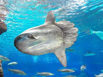 Родственница фугу - рыба-луна