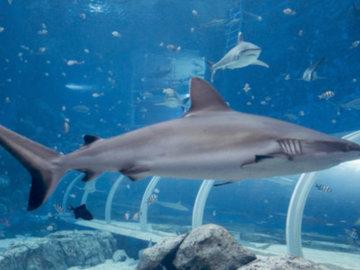 В петербургском океанариуме у белоплавниковых акул родился детеныш