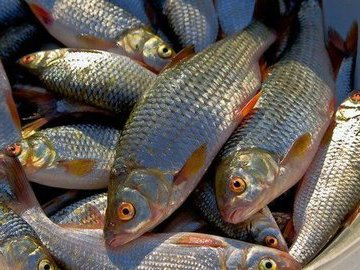 Рыба идет косяками